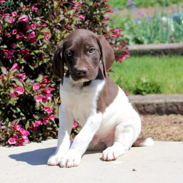 Digger, German Shorthaired Pointer Puppy