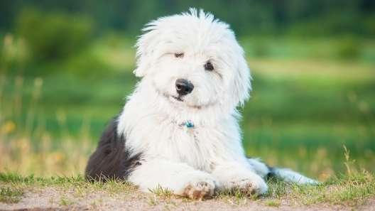 5 Facts About Old English Sheepdogs