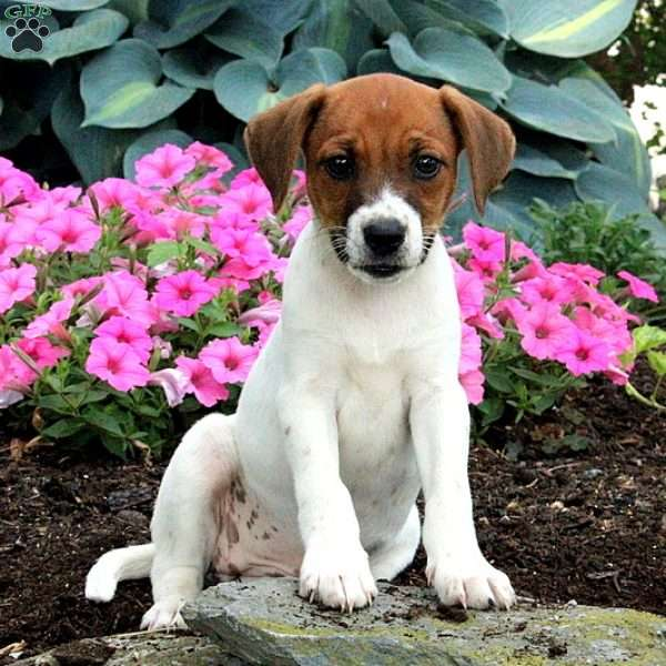 Asia, Jack Russell Mix Puppy