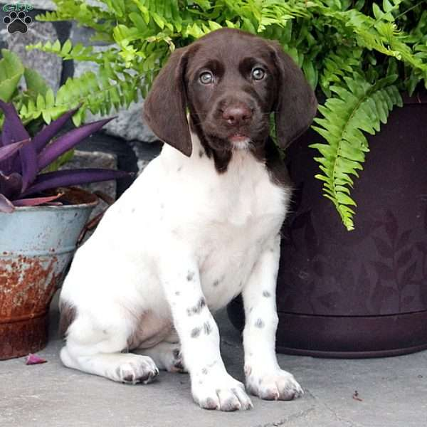 Candy, German Shorthaired Pointer Puppy