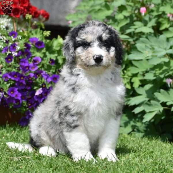 Chrissy, Aussiedoodle Puppy