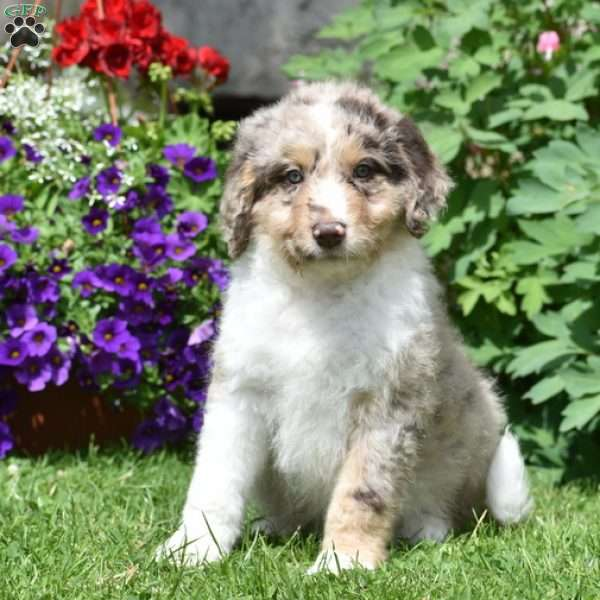 Christopher, Aussiedoodle Puppy