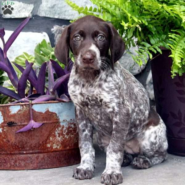 Crystal, German Shorthaired Pointer Puppy
