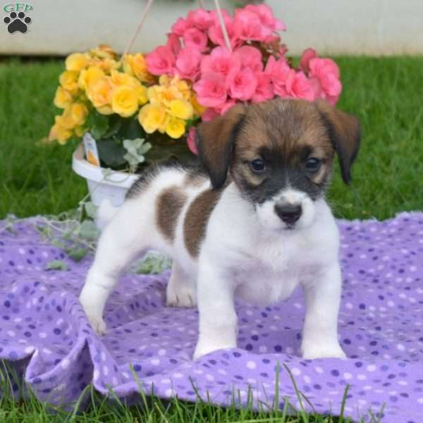 Lily, Jack Russell Mix Puppy