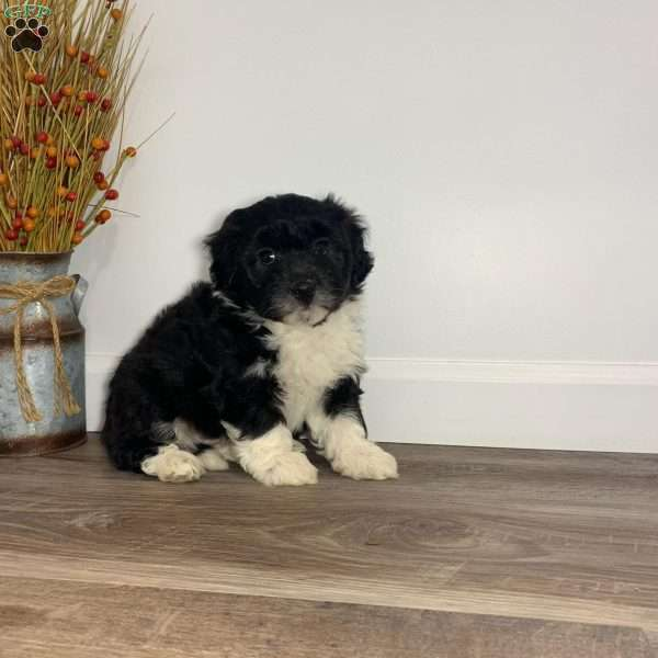 Lucy, Aussiedoodle Puppy