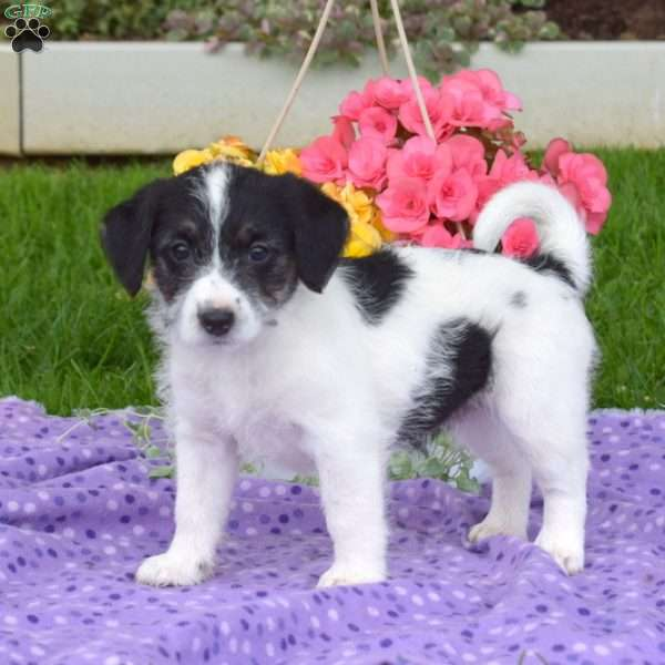 Lucy, Jack Russell Mix Puppy