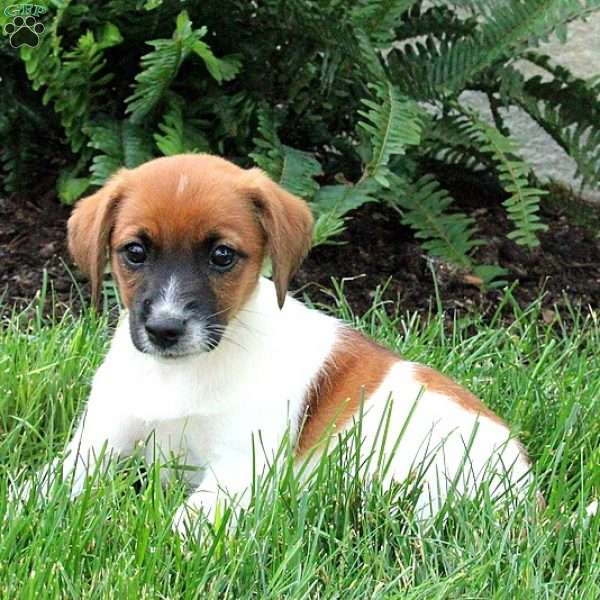 Mercy, Jack Russell Mix Puppy