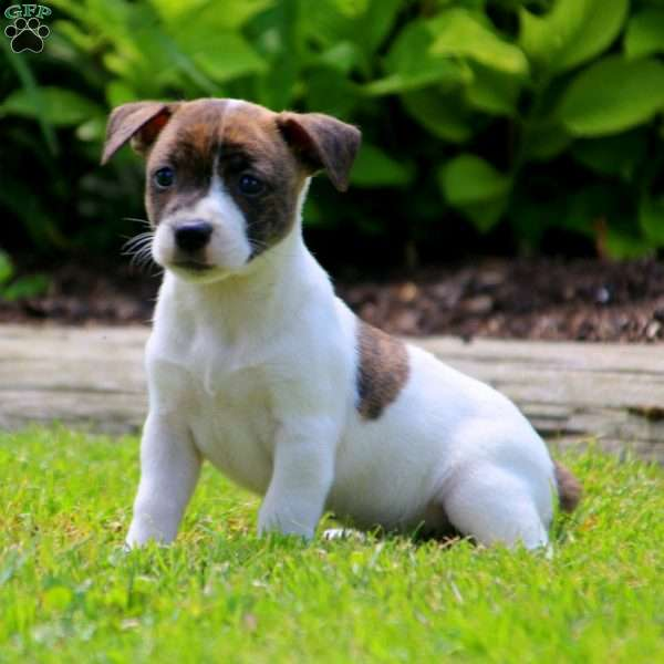 Mia, Jack Russell Mix Puppy