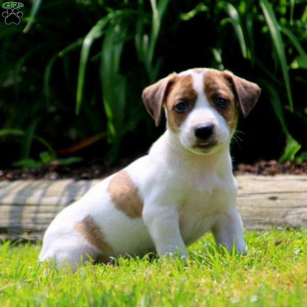 Mickey, Jack Russell Mix Puppy