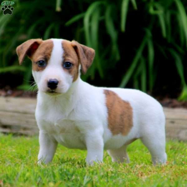 Molly, Jack Russell Mix Puppy