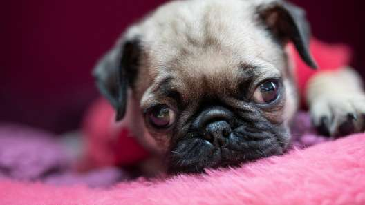 4 Facts About Pugs