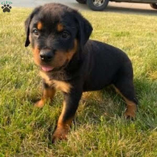 Andre, Rottweiler Puppy