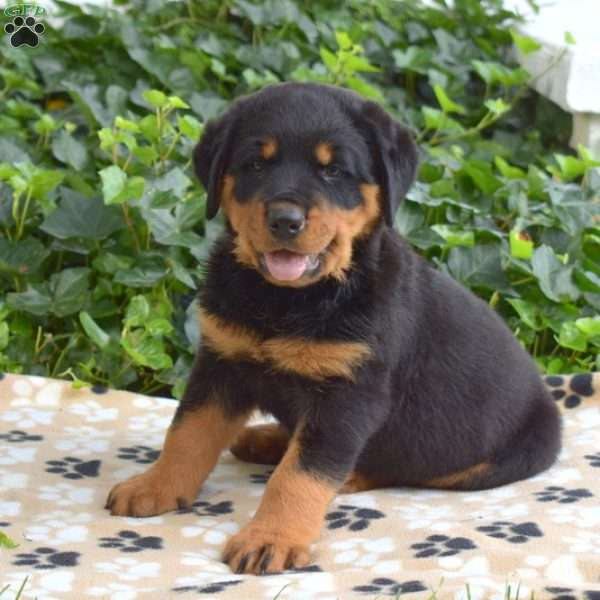 Charger, Rottweiler Puppy
