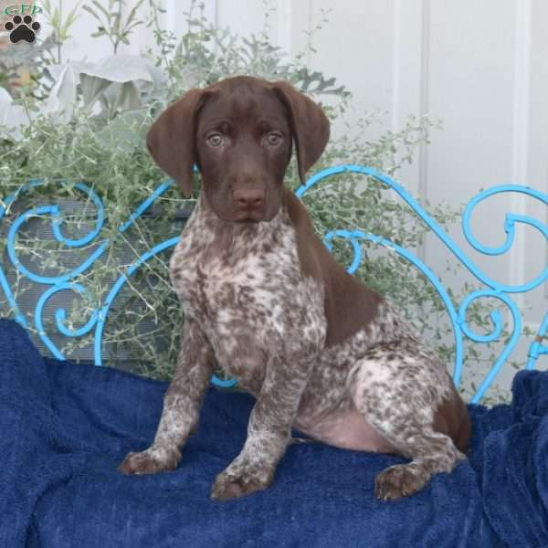 Coco, German Shorthaired Pointer Puppy