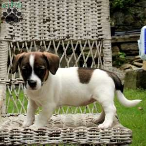 Gracie, Jack Russell Mix Puppy