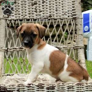 Gray, Jack Russell Mix Puppy