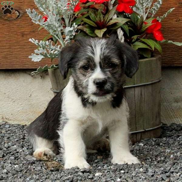 Mikey, Jack Russell Mix Puppy