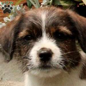 Mitchy, Jack Russell Mix Puppy