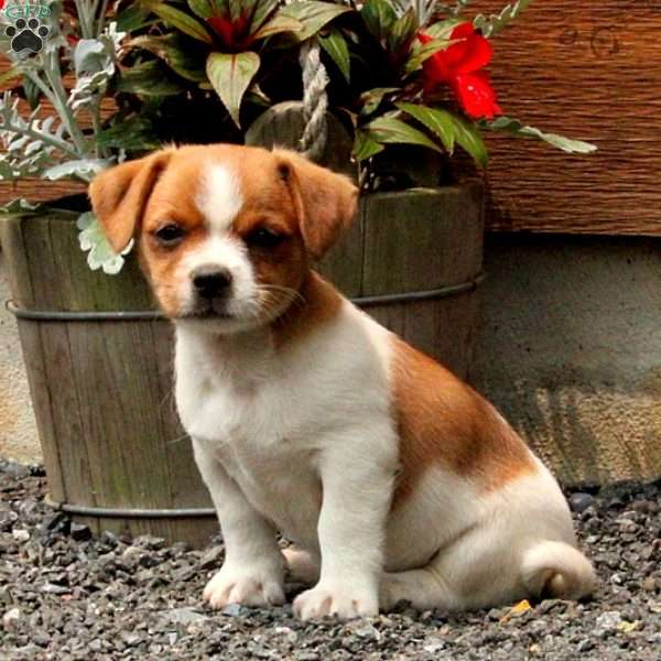 Olivia, Jack Russell Mix Puppy