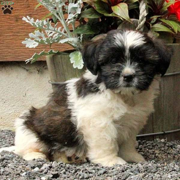 Oreo, Jack Russell Mix Puppy