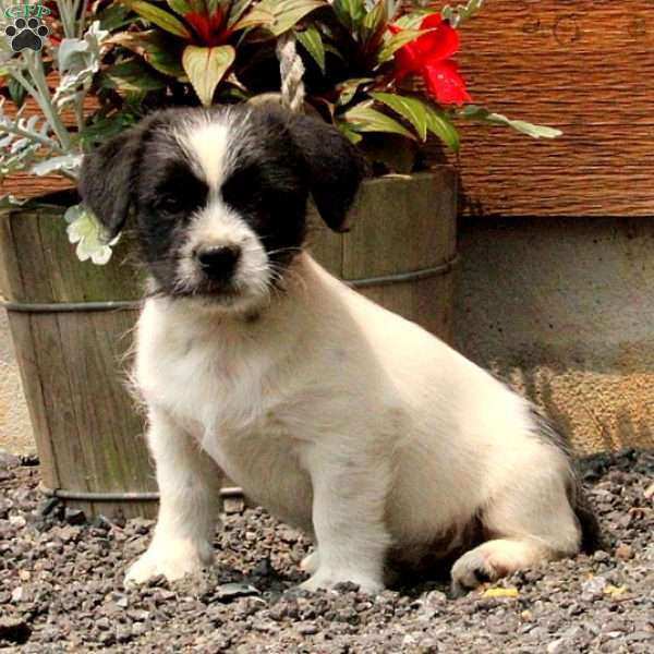 Ozzie, Jack Russell Mix Puppy