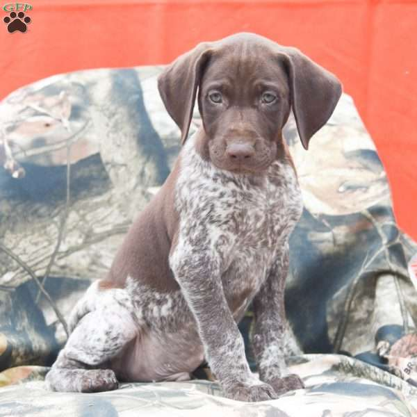 Randal, German Shorthaired Pointer Puppy