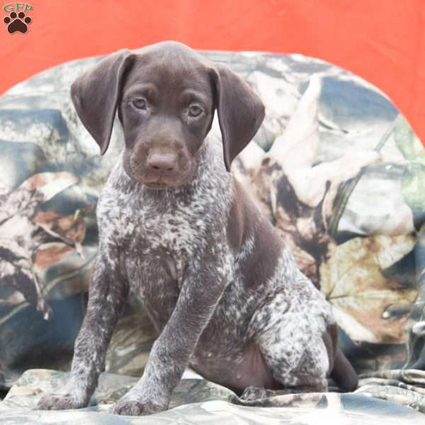 Reese, German Shorthaired Pointer Puppy