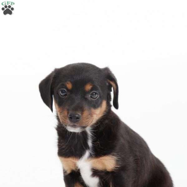 Rosa, Jack Russell Mix Puppy