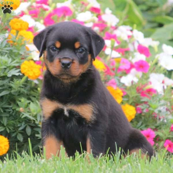 Sweets, Rottweiler Puppy