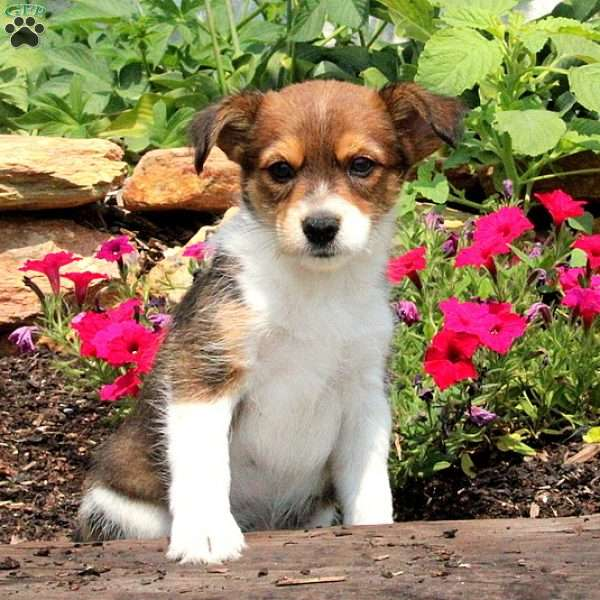 Trip, Jack Russell Mix Puppy