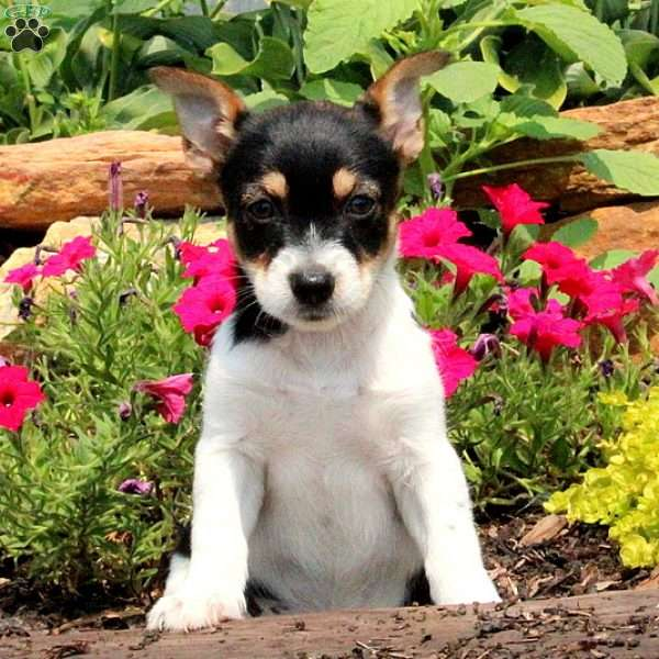 Tulip, Jack Russell Mix Puppy