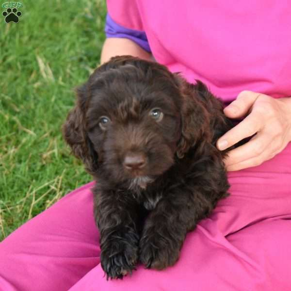 Lilly, Springerdoodle Puppy
