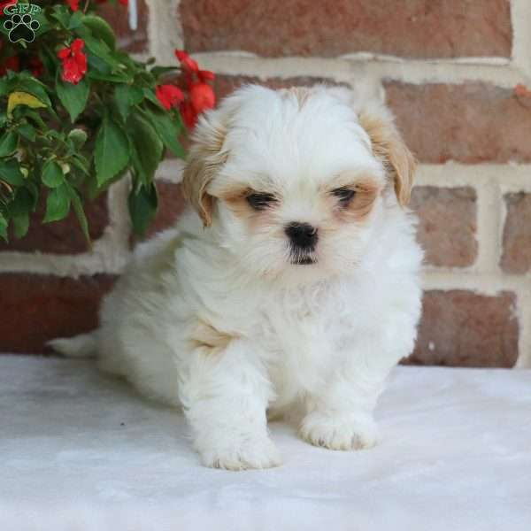 Mosely, Shih Tzu Puppy