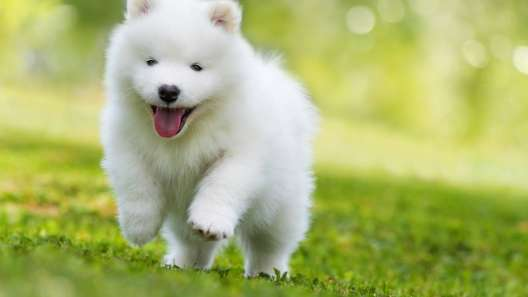 5 Facts About Samoyeds