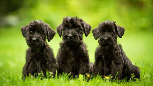 6 Facts About Schnauzers