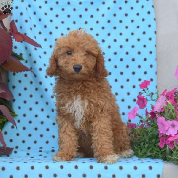 Lilly, Miniature Poodle Puppy
