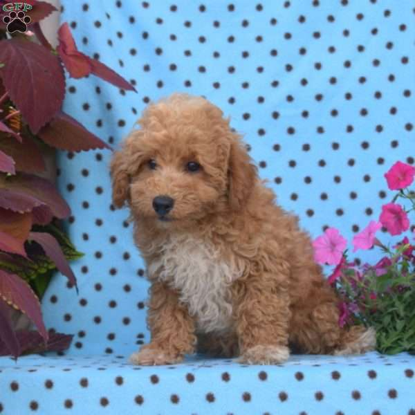 Lincoln, Miniature Poodle Puppy