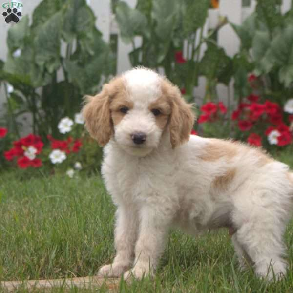 Rover – F1B, Goldendoodle Puppy