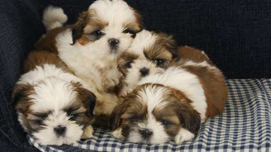 4 Facts About the Shih Tzu
