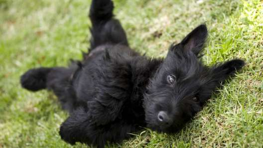 4 Facts About Scottish Terriers