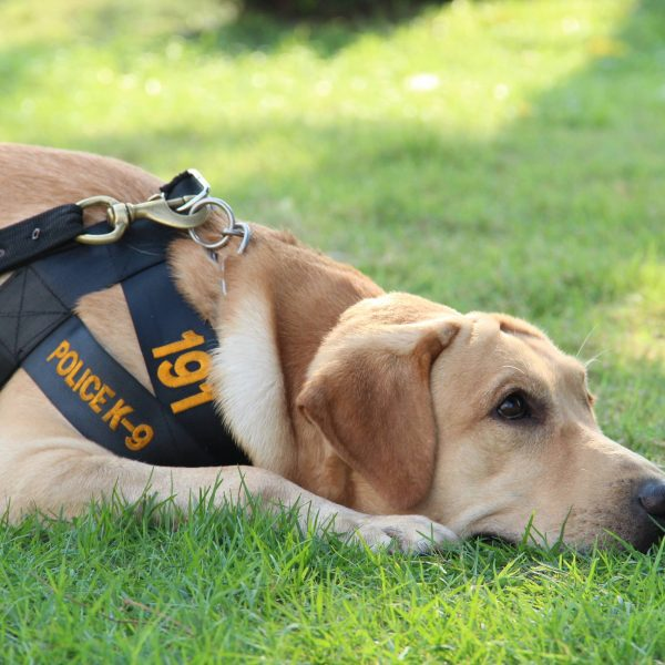 yellow lab police dog resting in grass