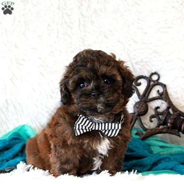 Elson, Shih-Poo Puppy