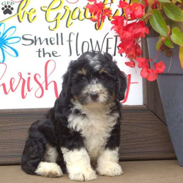 Hailey, Greater Swiss Mountain Doodle Puppy