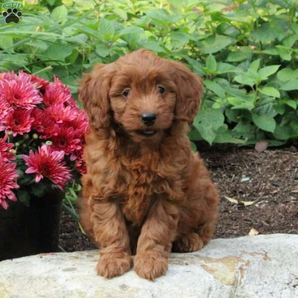 Indy, Mini Goldendoodle Puppy