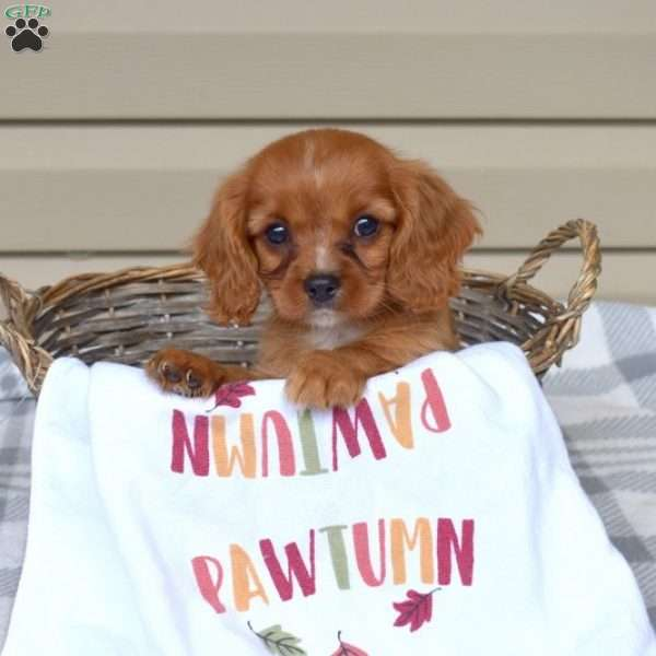 Lucky, Cavalier King Charles Spaniel Puppy