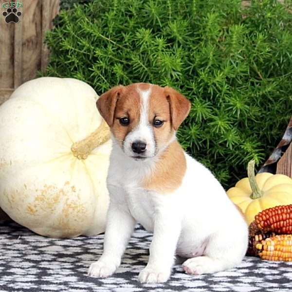 Maggie, Jack Russell Terrier Puppy