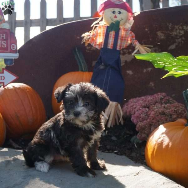 Candice, Morkie-Poo Puppy