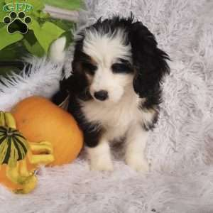 Willow, Mini Bernedoodle Puppy