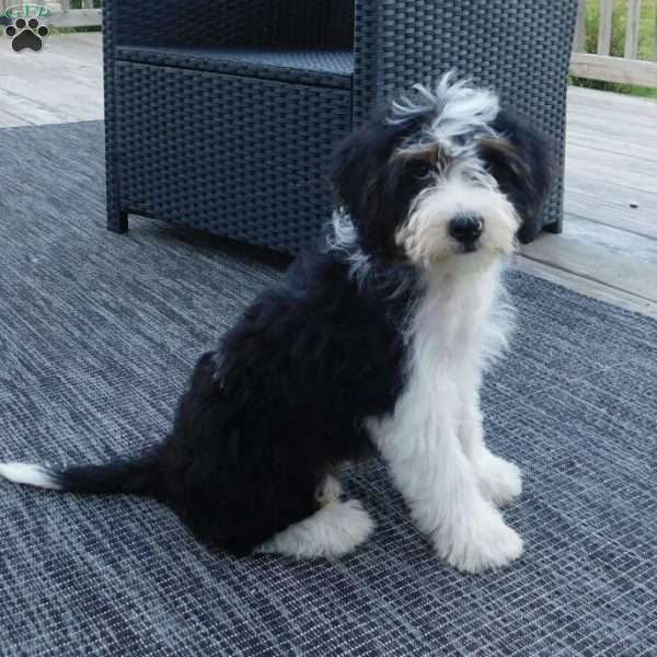 Lincoln, Mini Bernedoodle Puppy