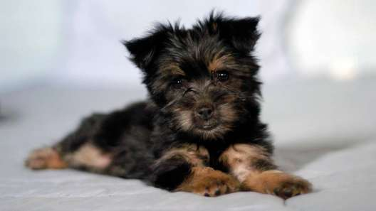 5 Facts About Silky Terriers